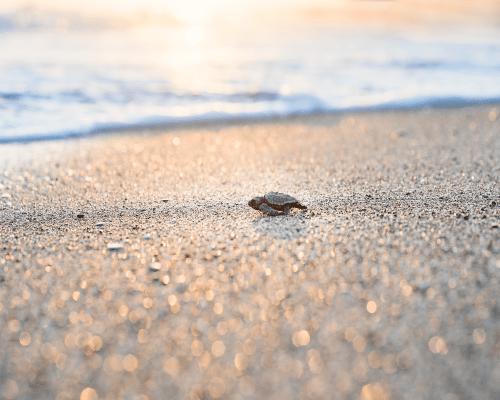 kornjača na plaži hoda prema zalasku sunca atonsh dizajn